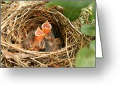Baby Birds Greeting Cards - Camera Shy Greeting Card by Gayle Johnson