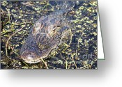 Florida Swamp Greeting Cards - Camouflaged Gator Greeting Card by Carol Groenen