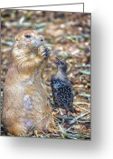 Prairie Dog Greeting Cards - Can You Spare A Nut? Greeting Card by Bill Tiepelman