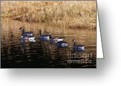 Wild Goose Greeting Cards - Canada Geese Greeting Card by Sharon  Talson