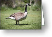 Migrating Bird Greeting Cards - Canada Good Close Up Greeting Card by Cindy Singleton