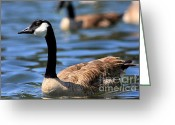 Canada Goose Greeting Cards - Canada Goose . 40D6919 Greeting Card by Wingsdomain Art and Photography