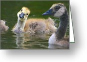Wild Goose Greeting Cards - Canada Goose Greeting Card by All images taken by Keven Law of London, England.