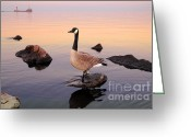 Canada Goose Greeting Cards - Canada Goose Greeting Card by Charline Xia