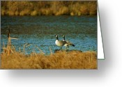 Mario Brenes Simon Greeting Cards - Canada Goose Greeting Card by Mario Brenes Simon