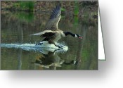 Goose Greeting Cards - Canada Goose Power Landing - c8139h Greeting Card by Paul Lyndon Phillips