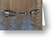 Goose Greeting Cards - Canada Goose Trumpeting His Case  - c0209a Greeting Card by Paul Lyndon Phillips