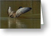 Geese Greeting Cards - Canada Goose with Sun Gold Wings - c7144m Greeting Card by Paul Lyndon Phillips