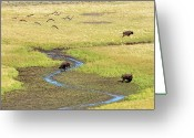 Canada Goose Greeting Cards - Canadian Geese And Bison, Yellowstone Greeting Card by Brian Bruner