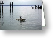 Commencement Bay Greeting Cards - Canadian Geese Family Greeting Card by Edward Coumou