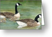 Goose Drawings Greeting Cards - Canadian Goose Greeting Card by Marina Durante