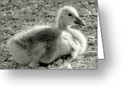Stippling Greeting Cards - Canadian Gosling Greeting Card by Janeen Wassink Searles
