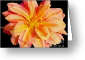 Bedroom Art Greeting Cards - Candy Stripe Dahlia Greeting Card by Cheryl Young
