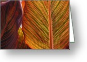 Macro Greeting Cards - Candy Striped Greeting Card by Kimberly Gonzales