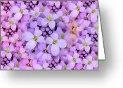 Purple Flower Greeting Cards - Candytuft Greeting Card by Mary P. Siebert