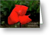 Canna Greeting Cards - Canna 19 Greeting Card by Padamvir Singh