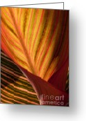 Canna Greeting Cards - Canna Greeting Card by Annette Weiner
