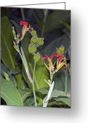Brasiliensis Greeting Cards - Canna Brasiliensis Greeting Card by Dr Keith Wheeler