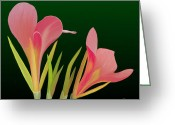 Canna Greeting Cards - Canna Lilly Whimsy Greeting Card by Rand Herron