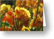 Canna Greeting Cards - Canna Lily Greeting Card by Alfred Ng