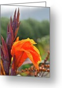 Canna Greeting Cards - Canna Lily Greeting Card by Ann O Connell