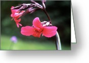 Canna Greeting Cards - Canna Lily (canna X Ehemanii) Greeting Card by Adrian Thomas