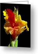 Canna Greeting Cards - Canna Lily Greeting Card by Eyal Nahmias