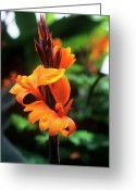 Canna Greeting Cards - Canna Lily roi Humbert Greeting Card by Adrian Thomas