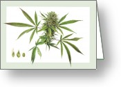 Botanical Drawings Greeting Cards - Cannabis Greeting Card by Dorothy DePaulo