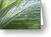 Canna Greeting Cards - Cannas Morning Light Greeting Card by Cassondra Davison