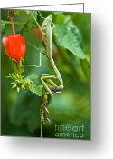 Mantis Greeting Cards - Cannibalism Greeting Card by Charles Dobbs