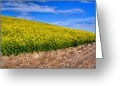 Rapeseed Greeting Cards - Canola and Stubble Greeting Card by David Patterson