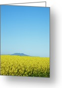Clear Photo Greeting Cards - Canola Crops Flowers In Field Greeting Card by John White Photos
