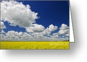Growing Greeting Cards - Canola field Greeting Card by Elena Elisseeva