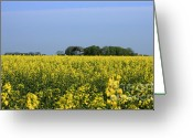 Rapeseed Greeting Cards - Canola Field Greeting Card by Stefan Kuhn