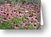 Beautiful Flowers Greeting Cards - Canvas of Echinacea Greeting Card by Carol Groenen