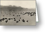 Oakland California Greeting Cards - Canvasbacks, Pintails, And Baldpates Greeting Card by Joseph Dixon