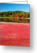 Cranberries Greeting Cards - Cape Cod Cranberry Bog Greeting Card by Matt Suess