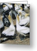 Choosing Greeting Cards - Cape Gannet Courtship Ritual Greeting Card by Georgette Douwma