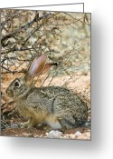 Hare Greeting Cards - Cape Hare Greeting Card by Tony Camacho