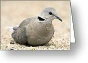 African Wildlife Greeting Cards - Cape Turtle Dove Greeting Card by Peter Chadwick