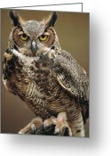 Indoors Photo Greeting Cards - Captive Great Horned Owl, Bubo Greeting Card by Raymond Gehman