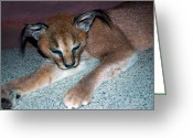 National Museum Of America History Greeting Cards - Caracal Cat Greeting Card by LeeAnn McLaneGoetz McLaneGoetzStudioLLCcom