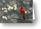 Red Bird Greeting Cards - Cardinal and Blossoms Greeting Card by Peter Mathios