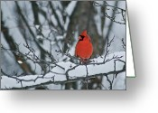 Indiana Photography Photo Greeting Cards - Cardinal and snow Greeting Card by Michael Peychich