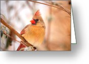 Cardinals. Wildlife. Nature. Photography Greeting Cards - Cardinal Bird Female Greeting Card by Peggy  Franz