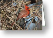 Business Decor Greeting Cards - Cardinal Eating Berries Greeting Card by Robert Frederick