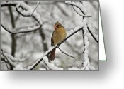 Cardinal Greeting Cards - Cardinal Female 3652 Greeting Card by Michael Peychich