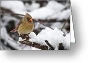 Cardinal Greeting Cards - Cardinal Female 3679 Greeting Card by Michael Peychich