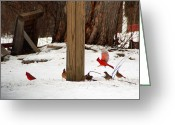Cardinals In Snow Greeting Cards - Cardinal in Flight Greeting Card by Aimee L Maher